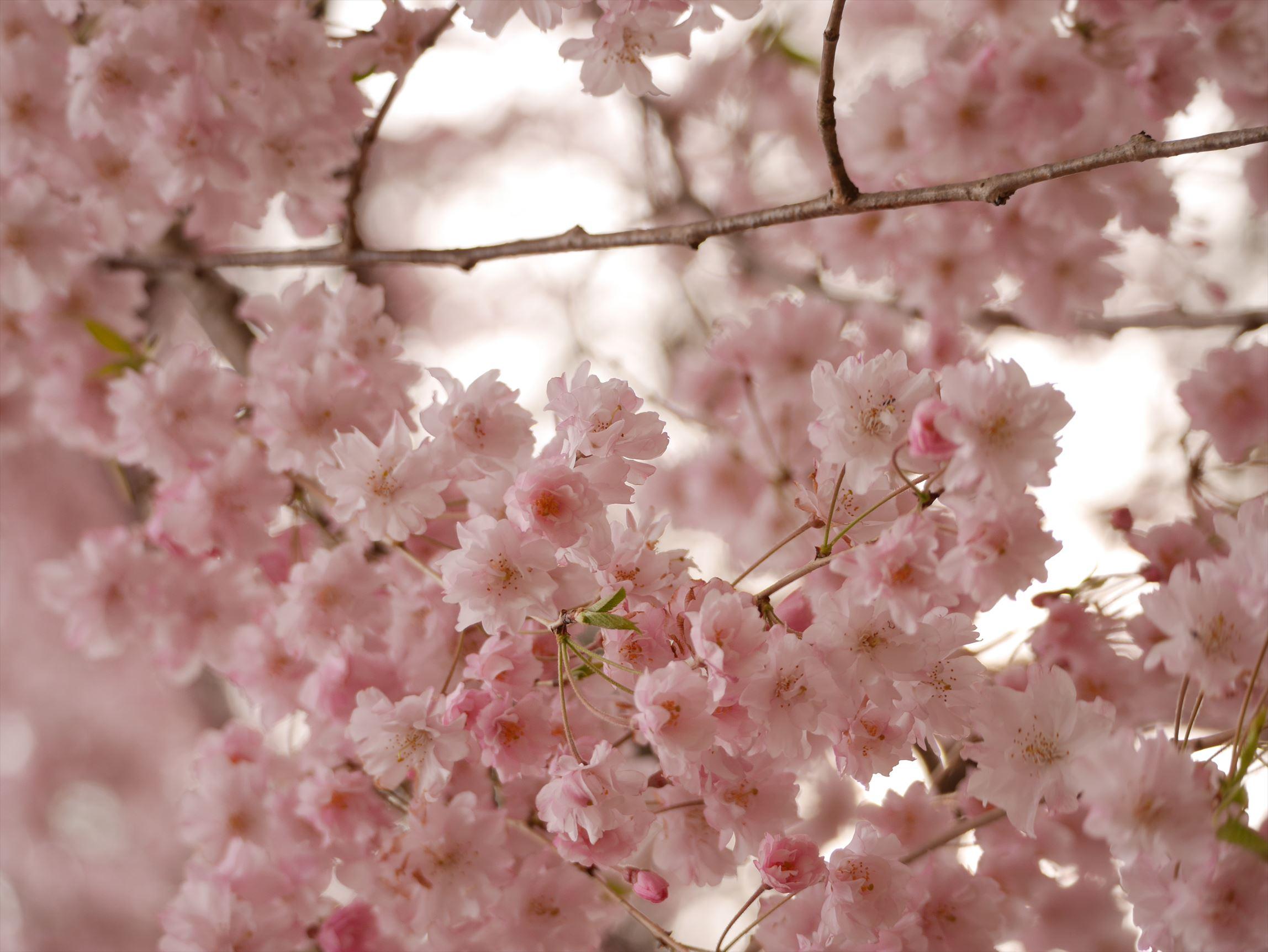 大宮氷川神社~氷川神社の桜~