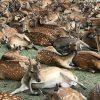 知ってれば10倍楽しい奈良公園の鹿の不思議!鹿だまり、おじぎする鹿・・・