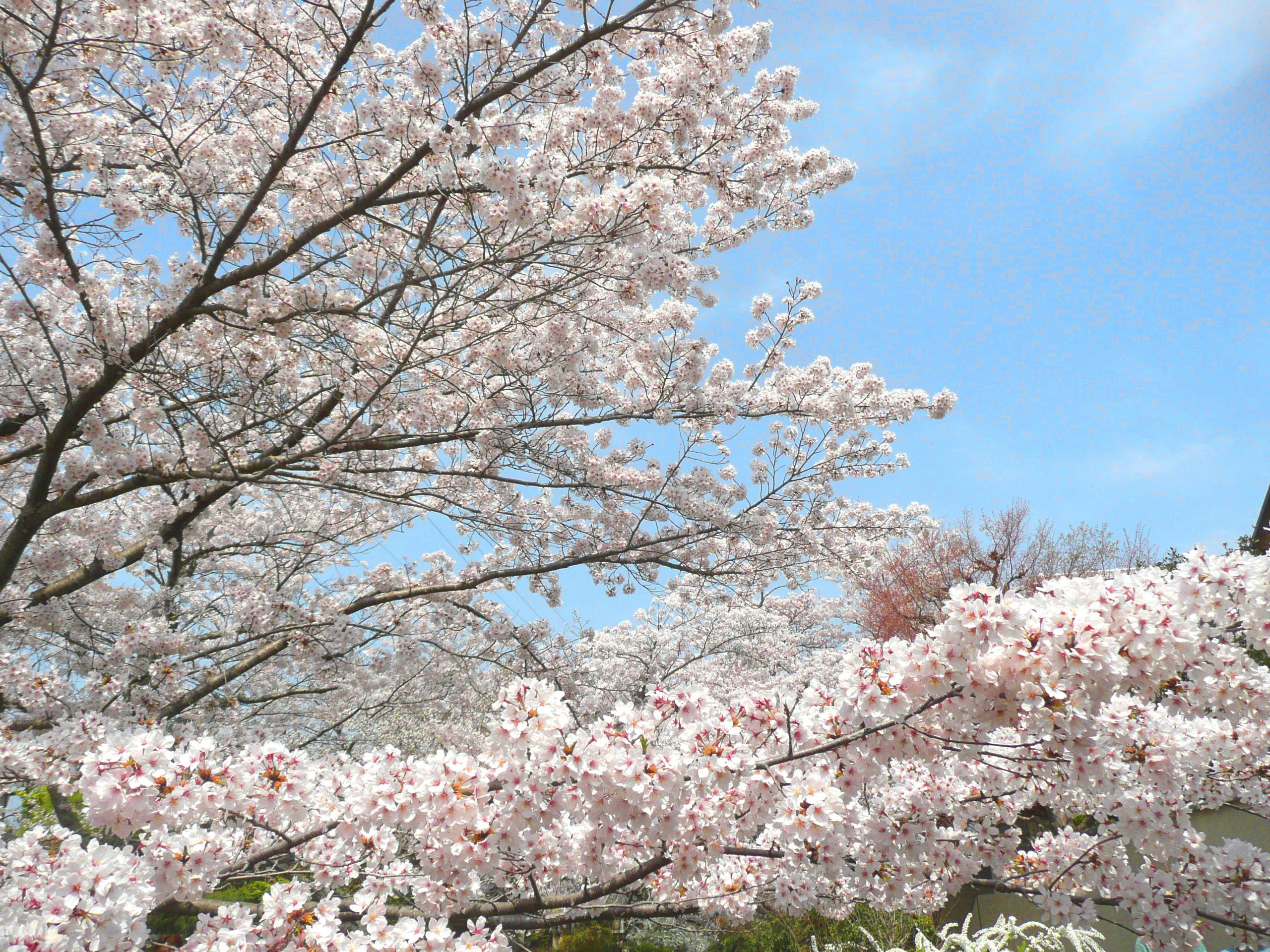 哲学の道を抜けて銀閣寺へ 桜満開の哲学の道で大興奮!