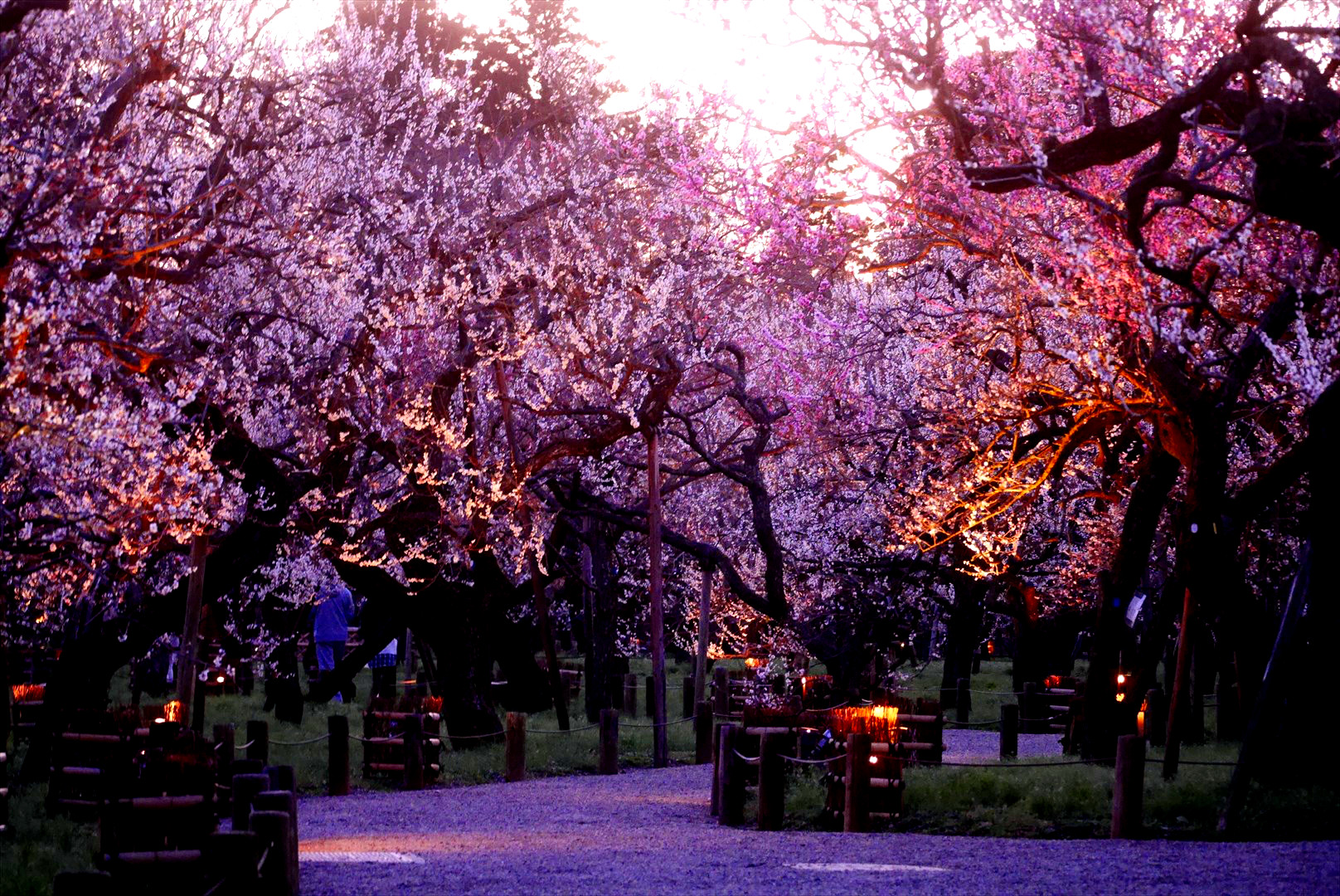 偕楽園が本気を出すとこうなる 梅の偕楽園