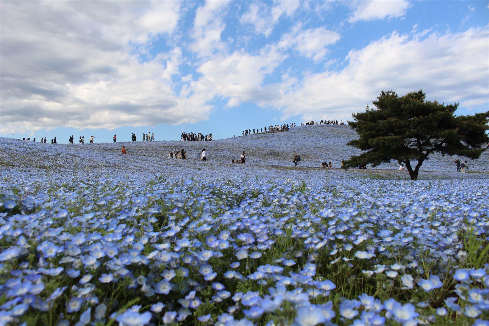 茨城なめてた こんなすごいネモフィラ畑見たことない!
