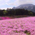春の花づくしの秩父 桜と芝桜の羊山公園