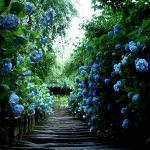 鎌倉ナンバーワンのアジサイ寺がすごい「明月院」