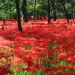 日本一の彼岸花スポットが、東京近郊に!巾着田の曼珠沙華公園