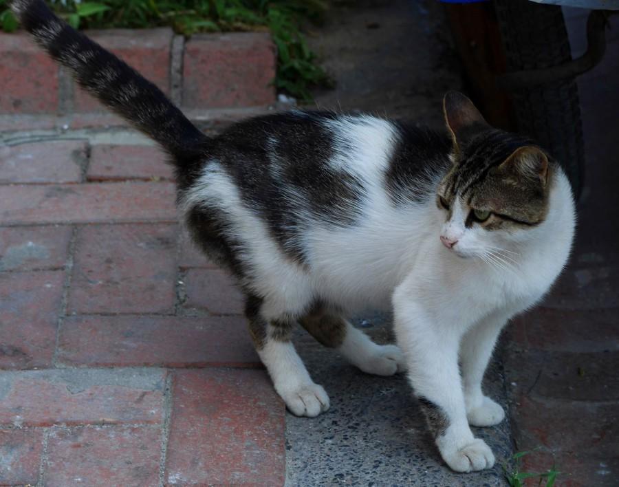 コンスタンティノープルの城壁の猫
