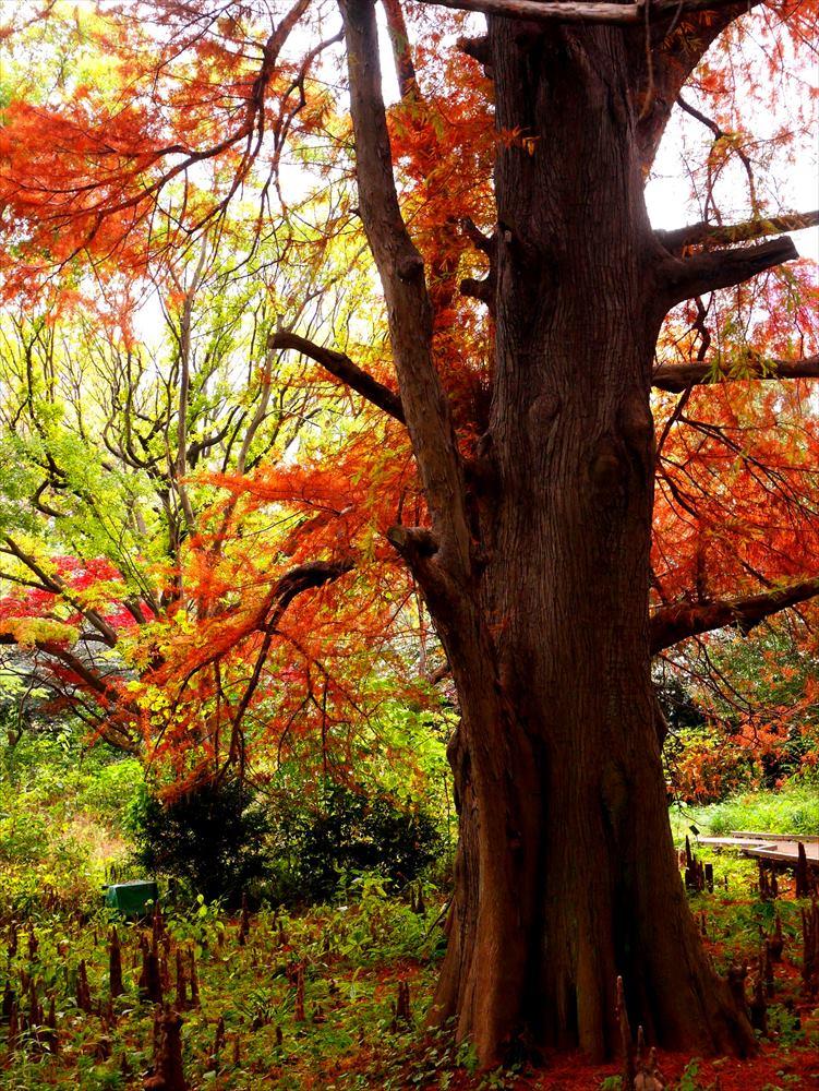 新宿御苑の落羽松