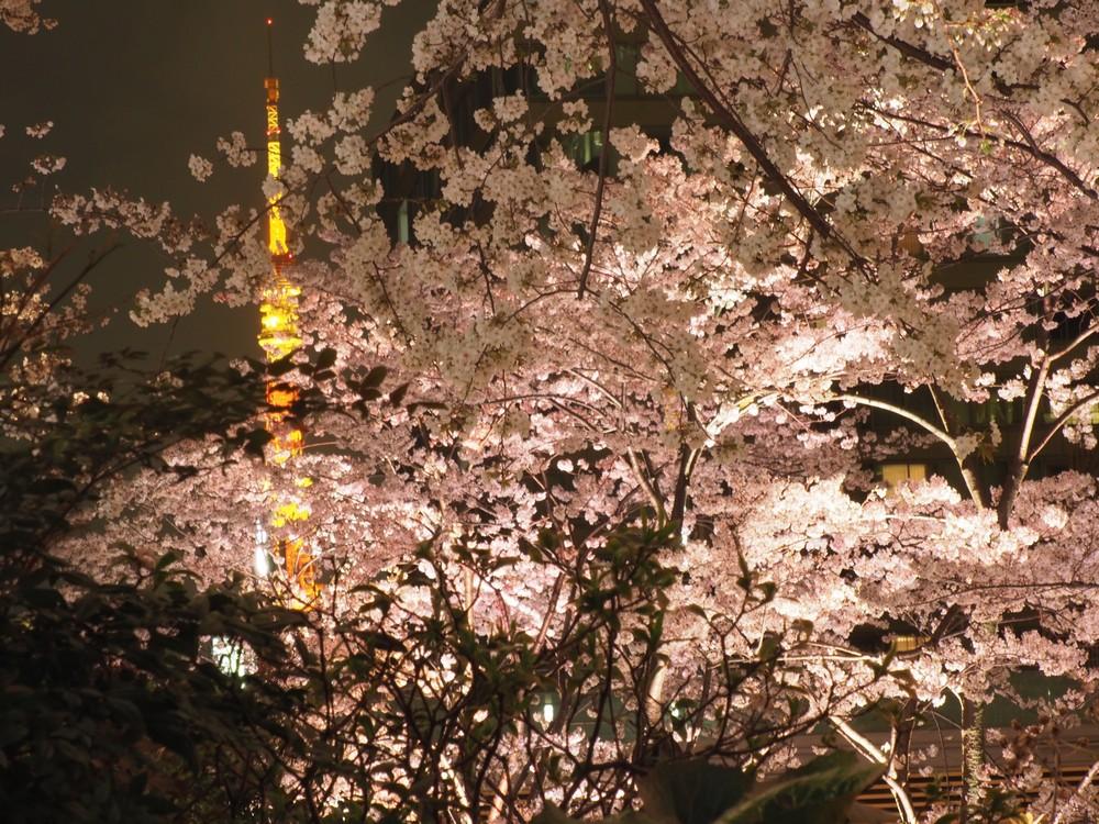 桜のシーズンのミッドナイトタウン