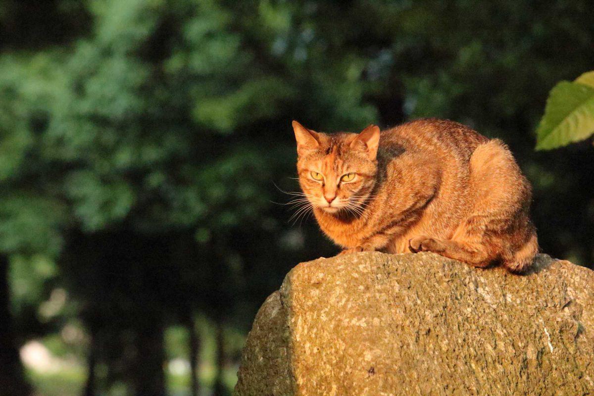 夕焼けの門番猫