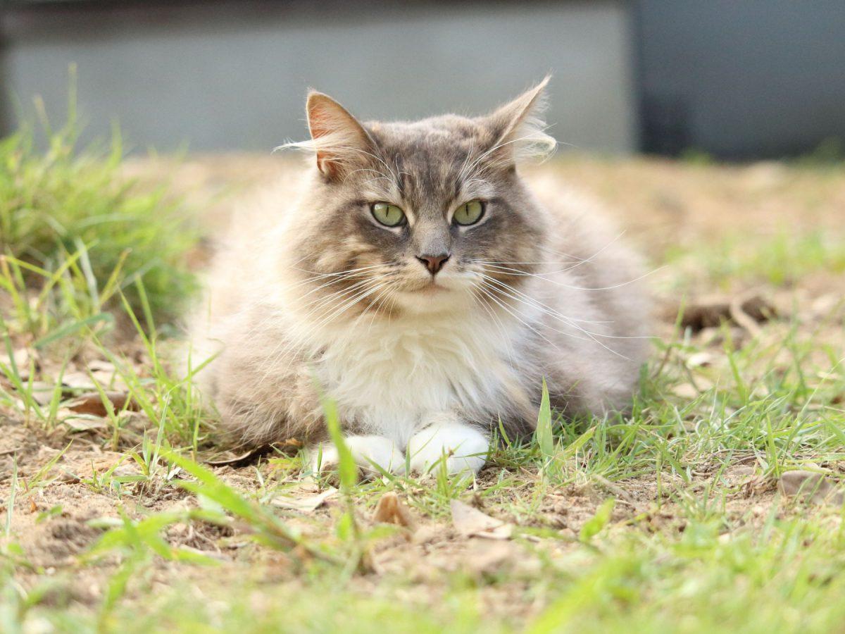 本殿横のフサフサ猫