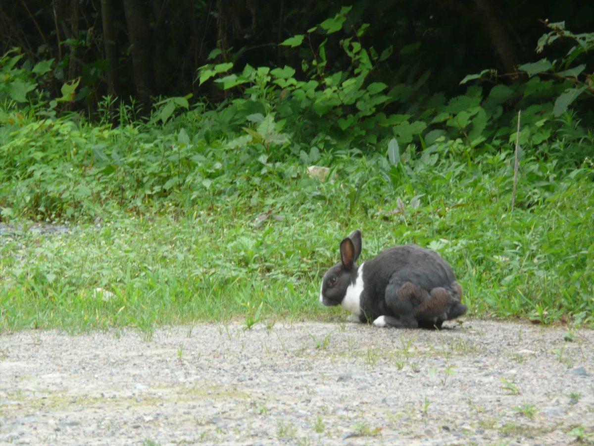 廃村に現れたウサギ