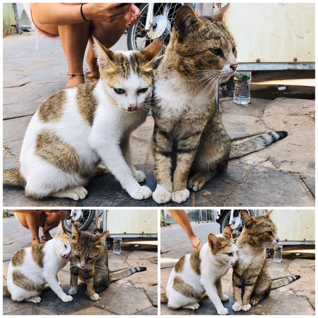 カンボジアの夫婦猫